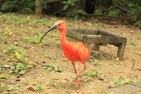 scarlet: Red birds scarlet IBIS IBIS Shojo, Shojo Toki
