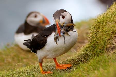 Adult Puffin on Mykines, Faroe Islands, returning to his nest with mouthful of sandeels for the chick. Stock Photo - 11112531