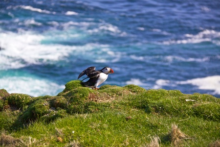 puffin: Atlantic Puffin on a cliff getting ready for flight on Shetland Islands, Scotland