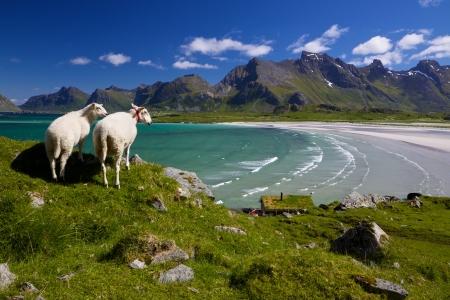 島の美しいロフォーテン諸島ノルウェーの羊牧場