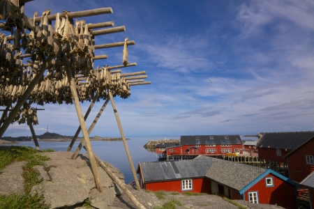 rorbu: drying stockfish in traditional way on Lofoten islands with red fishing rorbu huts by the fjord