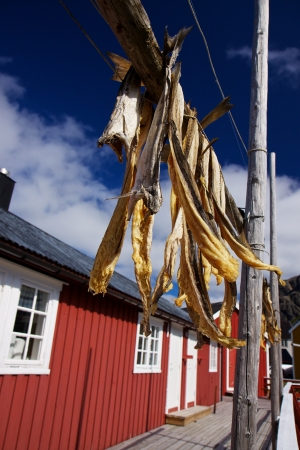 Dried stockfish hanging in front of fishing hut on Lofoten islands in Norway photo