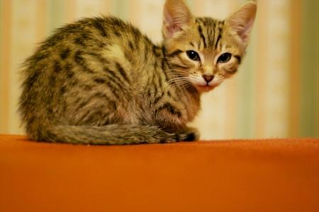 endearing: Adorable young kitten on orange carpet Stock Photo