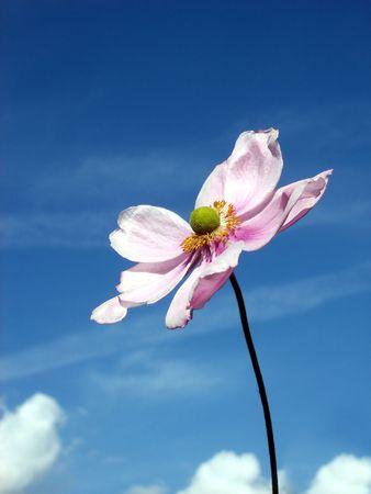 anemone flower: Un immagine di un fiore Anemone giapponese con un cielo di sfondo.