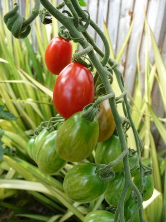 floridity: Some red and green floridity Tomatoes growing in a garden.