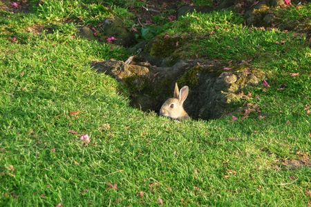 lagomorpha: A baby rabbit on some parkland. Stock Photo
