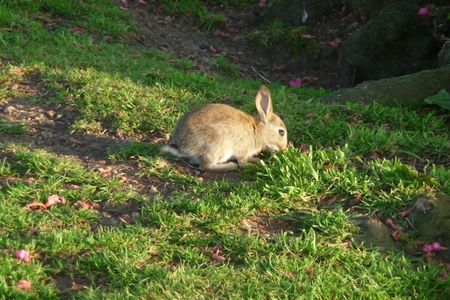 lagomorpha: A baby rabbit on some parkland. Stock Photo