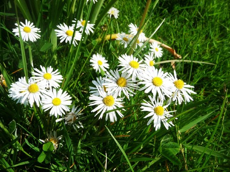 daises: A close up view of some Daises and grass.