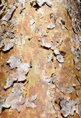 bark peeling from tree: Close up view of some bark peeling of a tree.