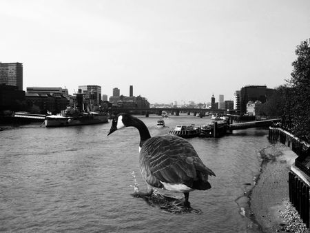 invading: Humorous image of a giant Canadian Goose invading London. Stock Photo