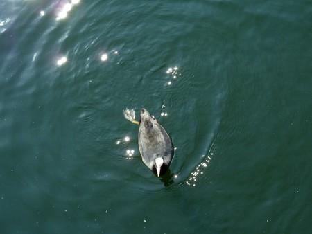 moorhen: A Moorhen swimming in the London docklands.