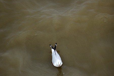 charadriiformes: A seagull floating in the River Thames In London.