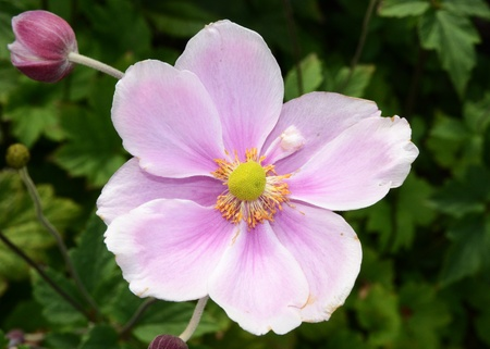 A single Japanese Anemone flower growing in a garden.