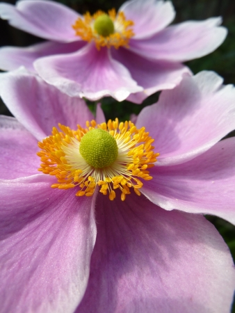Close up of a Japanese Anemone flower going in the summer.