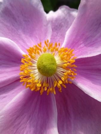 going in: Primer plano de una flor Anemone japon�s ir en el verano.