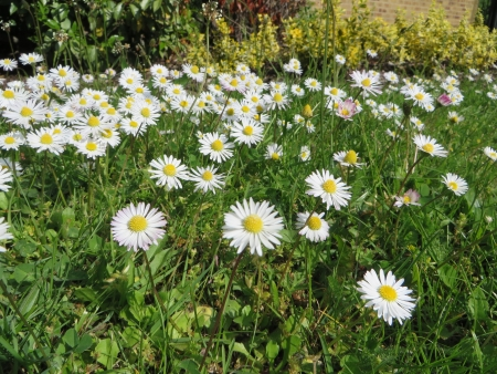 daisys: Close up of some daisys with a grass background. Stock Photo