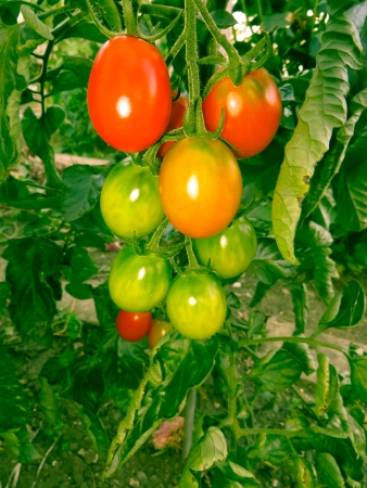 ripening: Tomatoes that are ripening in the hot summer sun. Stock Photo