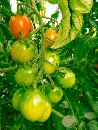 floridity: Tomatoes that are ripening in the hot summer sun. Stock Photo