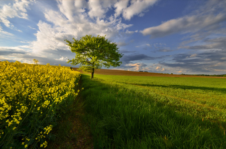 beech standing in the middle of the fields in the spring evening photo