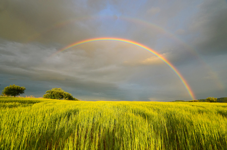June summer afternoon with a rainbow over grain Reklamní fotografie