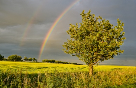 rainbow on a summer afternoon over rape field