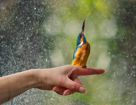 friendship with tame Kingfisher sitting on your hands