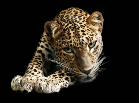 Leopard isolated on black background photo