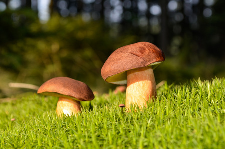mushroom on moss in forest photo