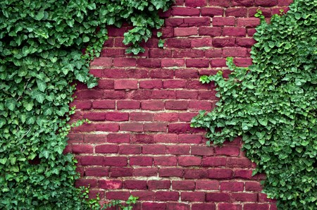 Old brick wall covered in ivy photo