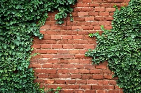 Oude bakstenen muur bedekt met klimop