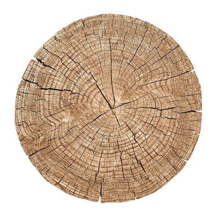 tree detail: Cross section of tree trunk showing growth rings on white background