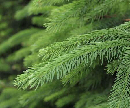 Young spruce shoots. Coniferous essential oil is used for medicinal purposes. Green bokeh on background 写真素材
