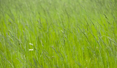 Lush green grass on meadow, spring summer outdoors close-up, copy space, wide format. Beautiful artistic image of purity and freshness of nature. Abstract bokeh background.  写真素材