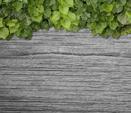 Wood planks covered by green leaves. Green ivy leaves climbing on wooden fence. Natural background texture. 写真素材