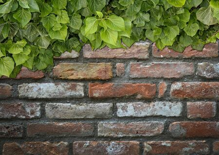 Old Texture brick wall, background, detailed pattern covered in ivy Stock fotó