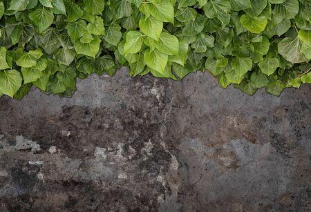 Old painted concrete wall creeper vines, ivy. Vintage panoramic banner background. Imagens