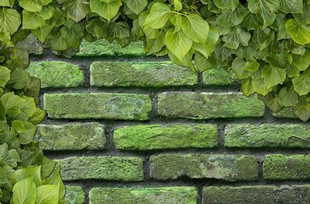 Old Texture brick wall, background, detailed pattern covered in ivy Zdjęcie Seryjne