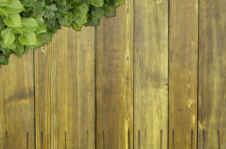 Wood planks covered by green leaves. Green ivy leaves climbing on wooden fence. Natural background texture. 版權商用圖片
