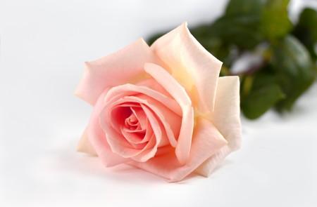 Ping Rose