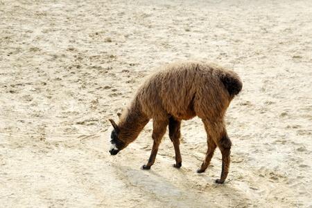 Jeune lama promenant
