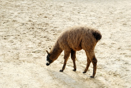 Young lama walking around