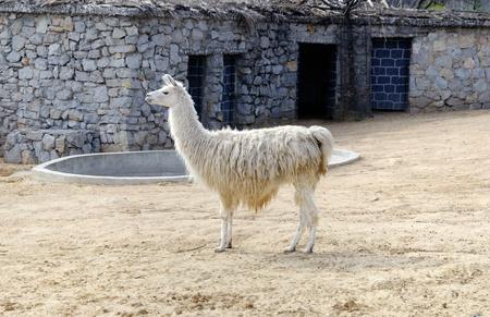 Lama au zoo de poser pour la cam�ra Banque d'images