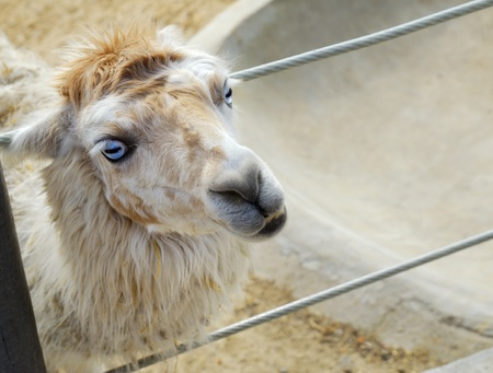 Lama in zoo looking for food Stock Photo