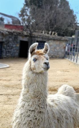Blue Eyed Lama
