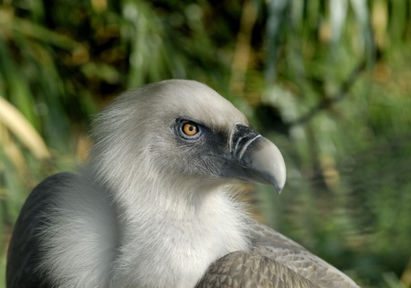 Portrait of Vulture, blurry background Stock Photo - 9235883