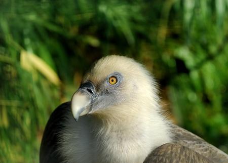 Portrait of Vulture, blurry background