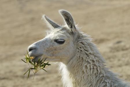 Lama in zoo posing for camera