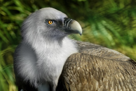 Griffin Vulture in Zoo