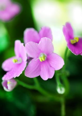 Pink Violet Macro Shot Stock Photo