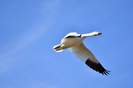 Snow Goose Richmond Canada